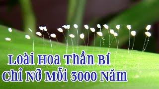 Loài Hoa Huyền Bí Khai Nở Mỗi 3.000 Năm Được Tìm Thấy Trên Khắp Thế Giới