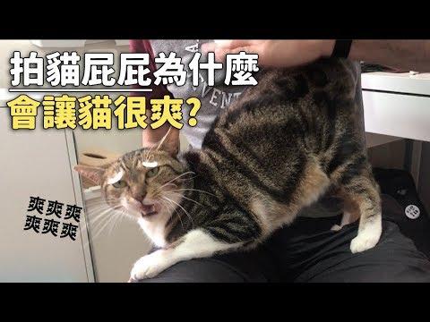 【拍貓屁屁為什麼會讓貓很爽?】志銘與狸貓