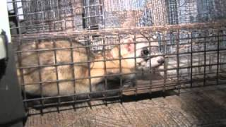 Black-Footed Ferret Spotlighting March 2012