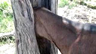 Una vaca atrapada en un arbol en el africa par.#1