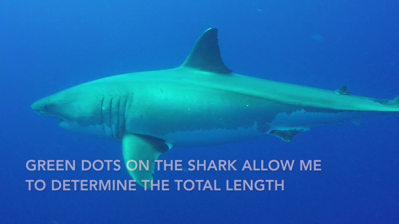 measuring great white sharks