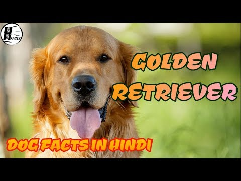 Golden Retriever Dog Facts | Hindi | Dog Facts | HINGLISH FACTS