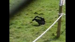 Duck fight at Dartmoor Zoo