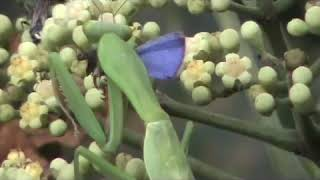 Praying mantis eats a butterfly; part of the food chain