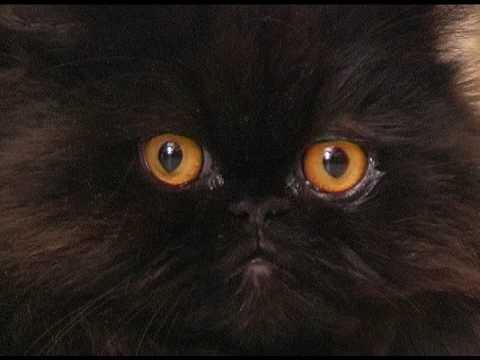 Close up di nero micio