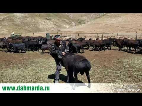 видео: Кучкары гиссарской породы перед запуском их к овцематкам,  рассказ Ходжи Мирзокарима