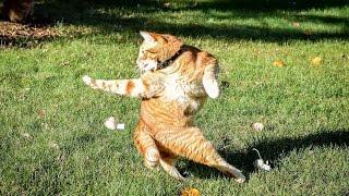Video Kucing Lucu - Kucing Joget Wigle Wigle Wigle download MP3, 3GP, MP4, WEBM, AVI, FLV Desember 2017