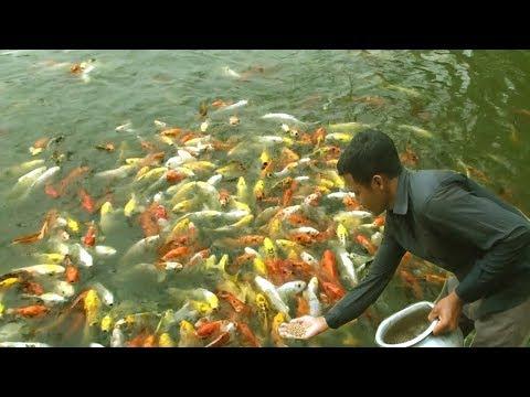 Ornamental Fish - Aquarium Fish Farming Business Plan In Tank And Pond