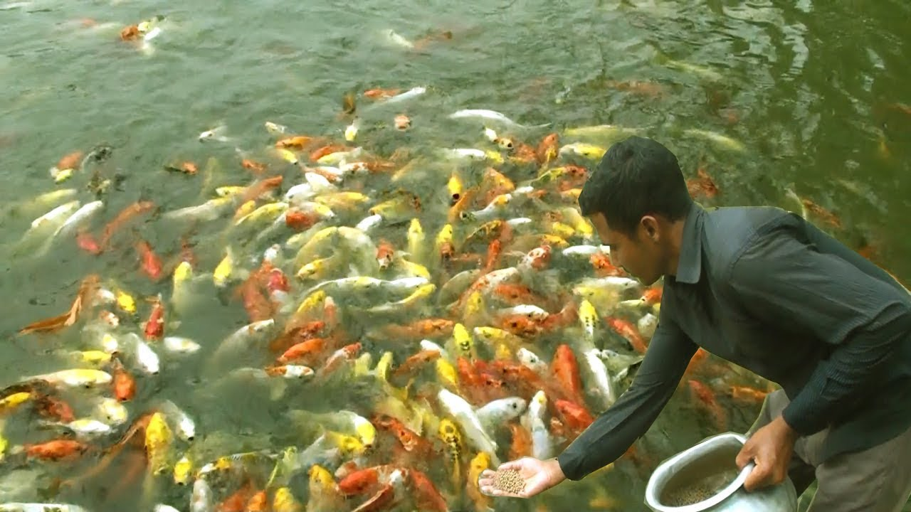 Starting A Business Ornamental Fish Farming In Fish Tank And