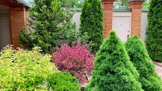 Хвойные в нашем саду. Часть 2 Что где посадить?