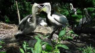 Pelican feeds pelican in Zoo Schönbrunn, Vienna, Austria