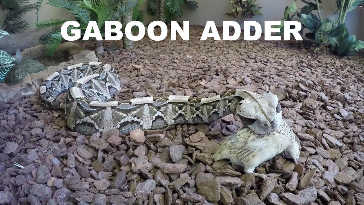 Gaboon adder eating a quail