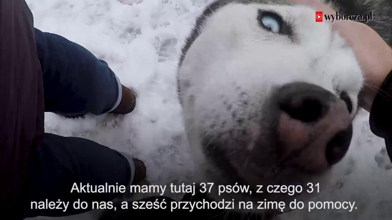 Jak się żyje syberyjskim psom pociągowym w górach Szwajcarii?