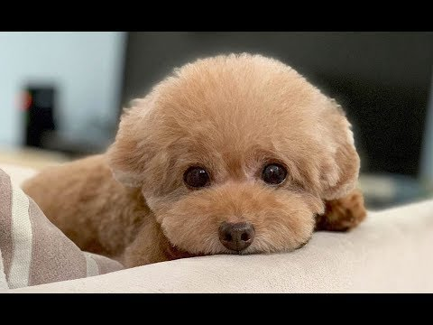 Teacup Poodle Video Compilation