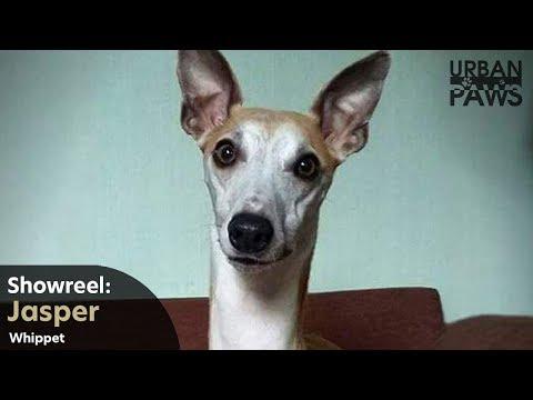 Dog Training: Jasper (Whippet) - Leave, Sit, Stay