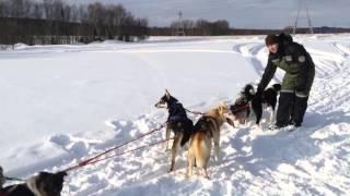 Катание на Хаски Мурманск Хаски видео тур v-Leto.ru #hauski #murmansk #tourmurmansk   Сегодня мы(hauski #murmansk #tourmurmansk Сегодня мы провели тур вместе с собаками Сибирские Хаски. Катались на собаках сколько..., 2016-03-08T20:58:05.000Z)