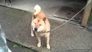 赤…雪真紗 黒褐…福龍 子犬は生後3ヶ月過ぎの赤胡麻…八重龍牙.