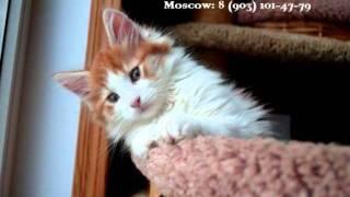 Котята Мейн Кун в Митино