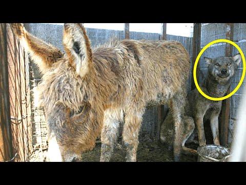 Esel wurde in Käfig eines Wolfes geworfen, dann passierte das Unfassbare...