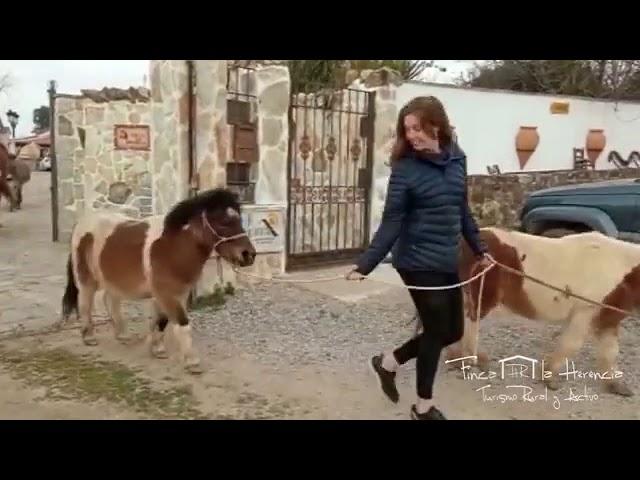 Traslado de caballos, ponis y burritos a sus cuadras