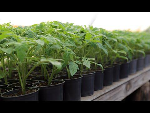 Толстая и низкая рассада томатов. Что для этого нужно? | вытягивается | тепличный | теплица | рассада | помидор | агроном | томаты | своими | руками | огород