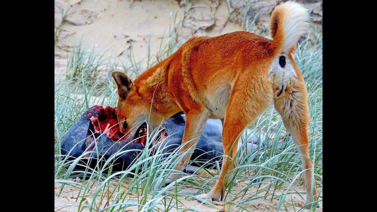 Dingo - Wikipedia