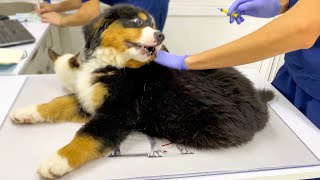 Bernese Mountain Dog Puppy First Visit to the Vet!