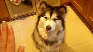 Amber Alaskan Malamute- Not A Husky Training