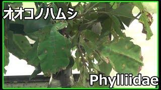オオコノハムシ phylliidae 【多摩動物公園】