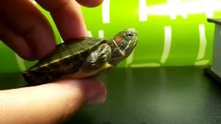 видео Определение пола черепах (самец или самка?)