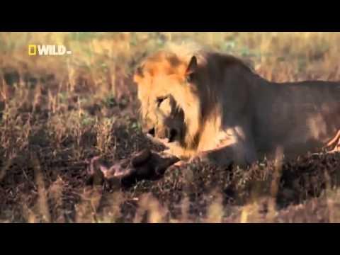 Male African Lion vs Hyenas Lions kill 4 Hyena Cubs - YouTube