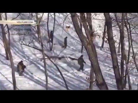 тигр Амур чуть не убил козла Тимура 2016