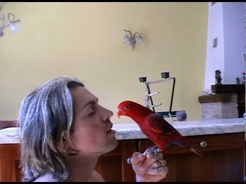 psittacus eos bornea red