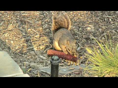 squirrel finishes off corn cob