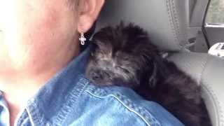 Gracie The Yorkie Poo For Sale In Florida - Michelines Pups