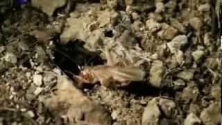 Bichos Duelo Selvagem - Rápido e Mortal.