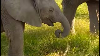 The Benefits of Eating Dung - Wildlife Specials: Elephant - Spy in the Herd - BBC