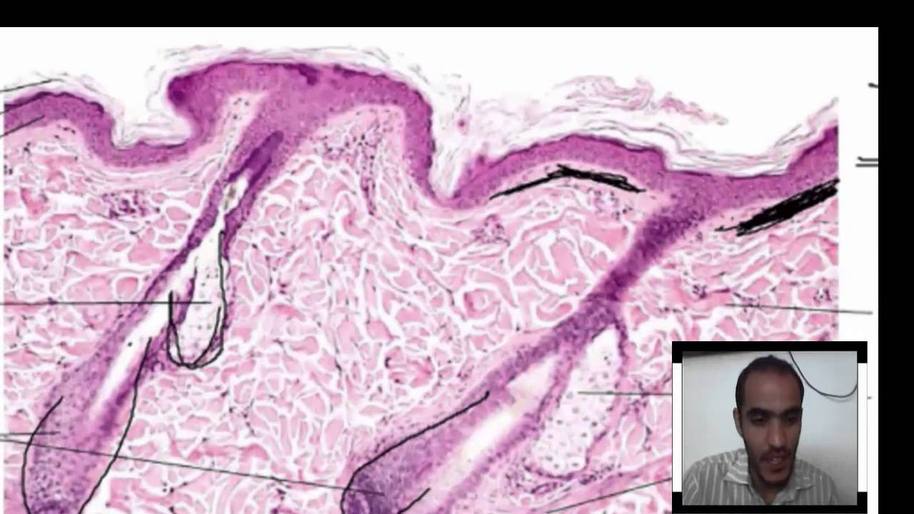 Histology of Integumentary System ( thick skin, thin skin) - YouTube