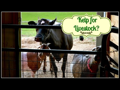 Kelp for Milk Cows & Livestock? You Betcha! ~