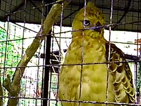 garuda - mythical bird