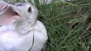 Огромный серый кролик гигант (великан,  флемиш)(Огромный кролик серый кролик 9 килограммы бегает по траве, глажу ее. Замечательная порода кроликов для бизн..., 2013-02-02T08:50:32.000Z)