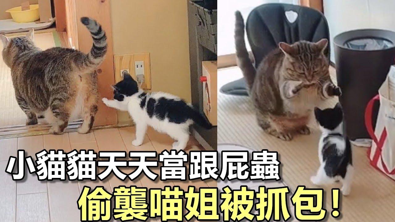 小貓貓「天天當跟屁蟲」!喵姐轉身伸短手「K不下去」網萌翻:可愛就是王道   可愛的貓咪