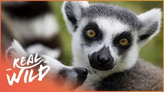 The Lemurs Of Madagascar (Wildlife Documentary) | Going Wild | Real Wild