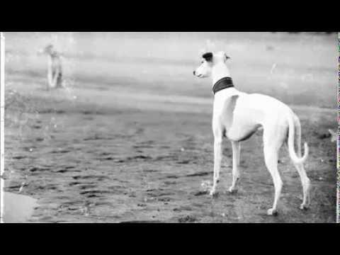 Уиппет собака фото, купить, видео, цена