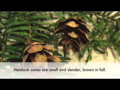 How to Identify the Western Hemlock