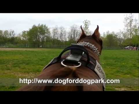 Awesome Video! Big Dogs Having Fun! with Zeus the Red Doberman