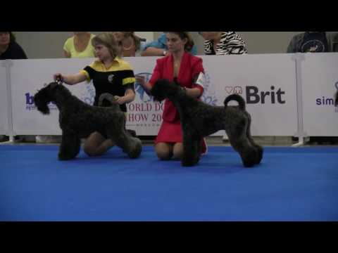 Kerry Blue Terriers on WDS2016