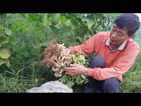 땅콩수확시기 및 수세미 재배 효능