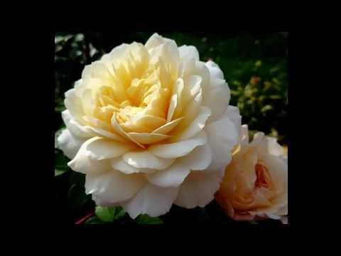 #Розы серии #Романтика каталог4 #Питомник Антипова