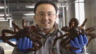 海からのおいしい贈り物 (32)ハナサキガニ・資源回復に挑む!-  北海道・根室市-